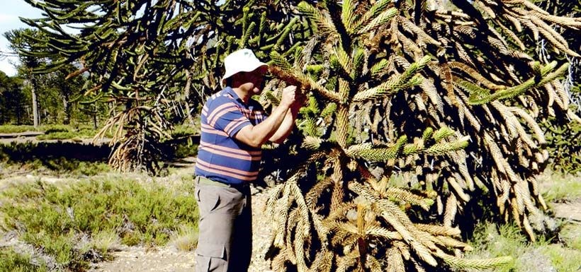 araucaria-chile