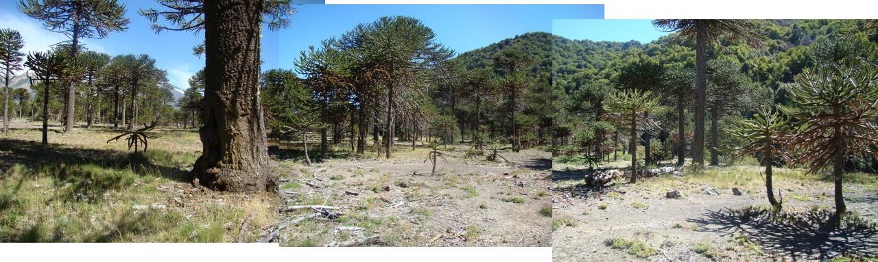 araucaria bosque