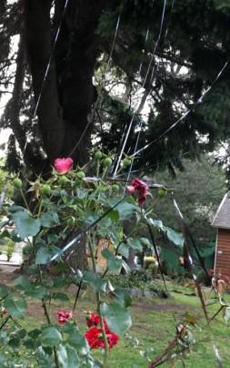rosal dañado