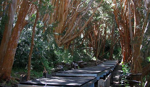 foto bosque arrayanes